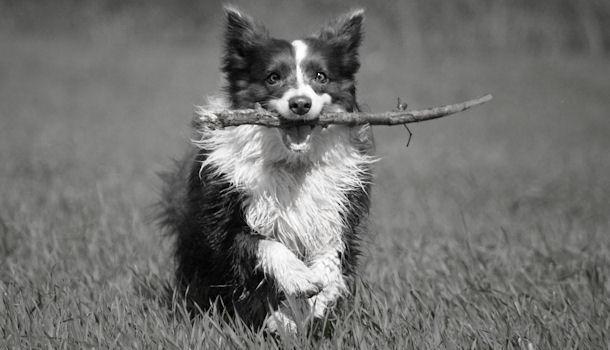 Koiran Takapään Heikkous